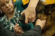 A handler touches up her German shepherd dog with mascara in the benching area of  the Westminster Kennel Club dog show.