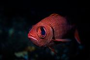 Myripristis berndti (Bigscale Soliderfish)