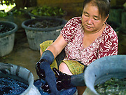 Mrs Kampheng dyes a skein of cotton blue with an indigo natural dye, Naxang village, Vientiane Province, Lao PDR.  Indigo dye is made from the fresh leaves and stem of the indigo plant which are fermented and then mixed with limestone to turn it the distinctive blue colour.