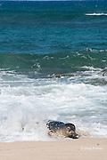 Hawaiian monk seal, Monachus schauinslandi, Critically Endangered endemic species, coming ashore through surf on beach at west end of Molokai, Hawaii ( Central Pacific Ocean )