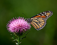 Monarch Butterfly on a Thistle Bloom. Image taken with a Nikon D810a camera and 80-400 mm VRII lens (ISO 200, 400 mm, f/5.6, 1/1250 sec).
