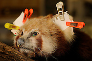 Anatomical specimen of a red panda (Ailurus fulgens), the ears are secured with staples and paper during drying, since before the ear cartilage were removed, Preparation laboratory, Senckenberg Natural History Collection Dresden..Praeparat eines Kleinen Panda (Ailurus fulgens), auch Roter Panda genannt, Ohren sind mit Papier und Klammern fixiert beim Abtrocknen, da vorher die Ohrknorpel entfernt wurden, Praeparatorium, Senckenberg Naturhistorische Sammlungen Dresden