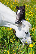 RESTRICTION: NOT FOR USE FOR CONSUMER GOODS - GREETING CARDS, e-CARDS, POSTCARDS IN NORTH AMERICA BEFORE 16 APRIL 2018 Connemara pony grey mare and foal in buttercup meadow, Connemara, County Galway, Ireland