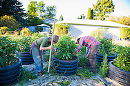 The Southeast Urban Agricultural Cooperative, formerly known as the Sellwood Garden Club, working at one of their 5many garden plots throughout the city of Portland.