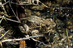 Western Toad (Bufo boreas), Mt. St. Helens National Volcanic Monument, Washington, US