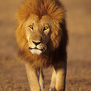 A portrait of a mature male lion. Serengeti Plains, Masai Mara National Reserve, Kenya, Africa