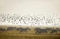 Hungarian Grey Cattle (Bos primigenius taurus hungaricus) with European Starling (Sturnus vulgaris) swarm around, Hortobagy National Park, Hungary