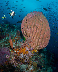 A trio of Moorish Idols, Zanclus cornutus, approach a large barrel sponge, along with a Blue-spotted Grouper, Cephalopholis miniata. Raja Ampat, West Papua, Indonesia