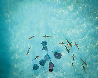 MOOREA ISLAND, FRENCH POLYNESIA - 18 September 2017 : Aerial view of a diver with sharks and stingray inthe sea of Moorea island, French Polynesia.