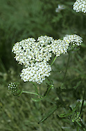 YARROW Achillea millefolium (Asteraceae) Height to 50cm<br /> Upright, downy perennial with creeping stems and upright, unbranched and furrowed flowering stalks. The whole plant is strongly aromatic. Grows in meadows, verges and hedgerows, and on waste ground. FLOWERS are borne in heads, 4-6mm across, comprising yellowish disc florets and pinkish white ray florets; the heads are arranged in flat-topped clusters (Jun-Nov). FRUITS are achenes. LEAVES are dark green, finely divided and feathery.