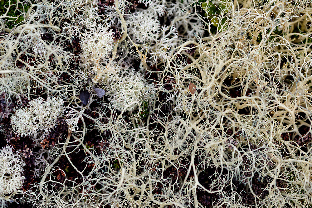 Witch's-hair Lichen (Alectoria ochroleuca) growing together with Star-tipped cup lichen (Cladonia stellaris). Photo from Hjerkinn (Dovre, Innlandet), Norway.