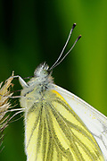 Green-veined White Butterfly (Pieris napi) close-up of head, Oxfordshire, UK.