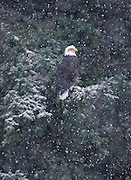 Alaska. Bald Eagle (Haliaeetus leucocephalus) perched in a spruce during a snow storm along the Chilkoot River, Haines.