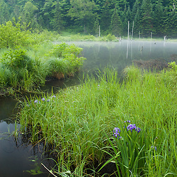 Wetlands and forest in Vermont's Green Mountains.  Eden, Vermont.  Large blue flag iris.