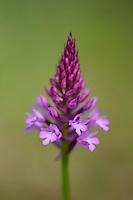 Pyramidal orchid, Anacamptis pyramidalis, Bela Reka, Eastern Rhodope mountains, Bulgaria