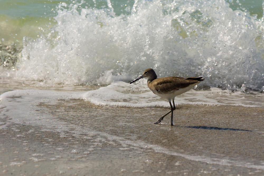 A sandpiper walks on a beach in Florida while the waves crash behind it. Photo by Adel B. Korkor.