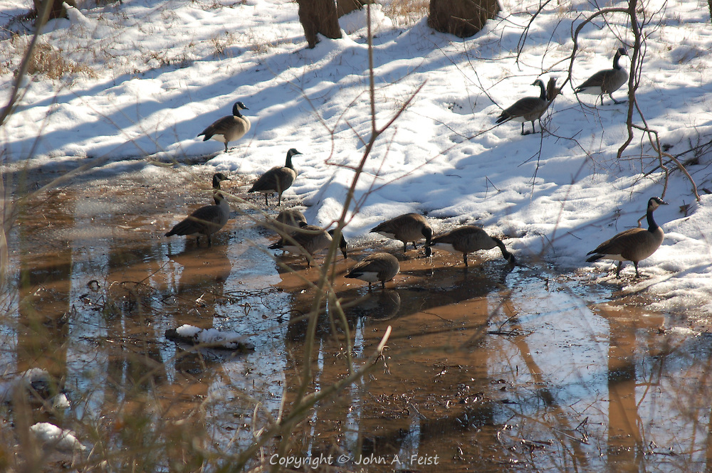 A small flock of geese stopping for a drink at a small pond of snow melt on a sunny winter afternoon along the D and R Canal in Hillsborough, NJ