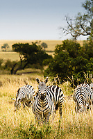 A Burchell's Zebra on watch in the Masai Mara National Park, Kenya
