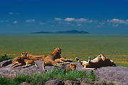 Pride of Lions with cubs rest and sleep atop a kopje (rock outcrop) Serengeti National Park, Tanzania