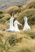 Southern Royal Albatross, Campbell Island, New Zealand