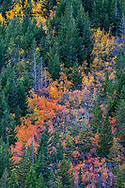 Autumn aspen hues and patterns in the Lewis and Clark National Forest, Montana, USA