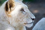 Close up portrait of a White lion cub at Johannesburg lion park.South Africa