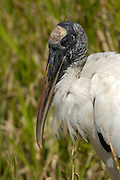 Everglades National Park - Wednesday, Feb 21 2007: A wood stork, (Mycteria americana) stands next to a pool in the Everglades National Park, Florida.   (Photo by Peter Horrell / http://www.peterhorrell.com)