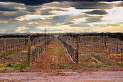 View over the vineyard, sandy soil and young vines, drip irrigation. with netting used to shield and protect the vines from birds and from hail damage. Dramatic dark sky with storm clouds Bodega NQN Winery, Vinedos de la Patagonia, Neuquen, Patagonia, Argentina, South America