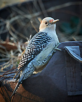 Red-bellied Woodpecker. Image taken with a Nikon D5 camera and 600 mm f/4 lens (ISO 1600, 600 mm, f/4, 1/500 sec).