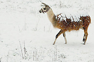 a llama walks across a snowcovered pasture with a blanket of snow covering her back, she is well insulated