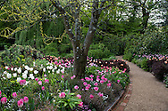 Tulipa 'Dreamland' pink and white tulips and Tulipa 'Maureen' a white tulip in a bed at Pashley Manor Gardens, Ticehurst, East Sussex, UK