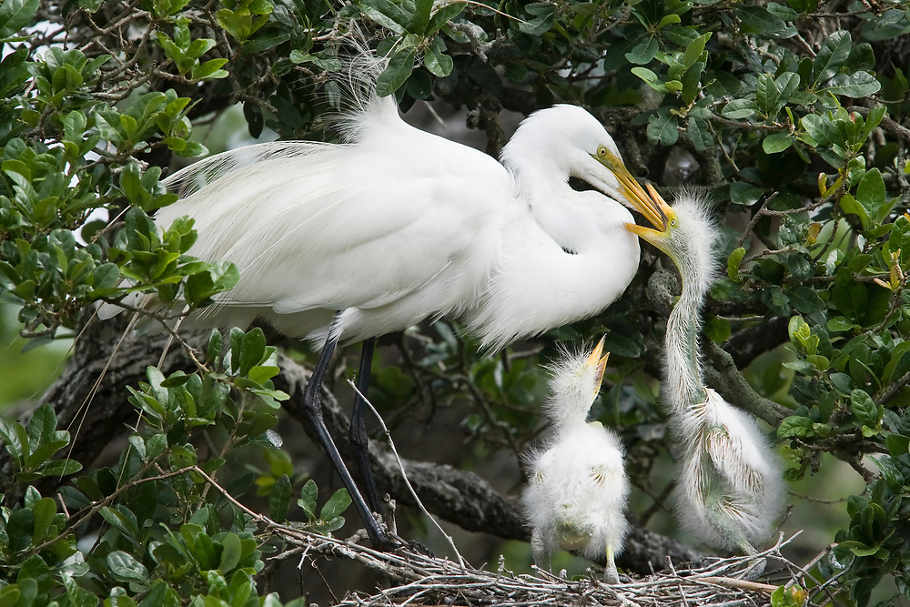 Great Egret - Ardea alba - adult feeding chicks