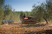 Farmer working in olive grove at Pontignanello in Chianti, Tuscany, Italy
