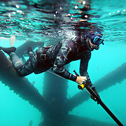 """SUMMARY - """"Blood in the Water"""" Spearfishing is a type of hunting done with underwater guns, harpoons and strong line. Freediving is a type of breath-hold diving in which divers descend for the duration of one breath, without any SCUBA tanks or any breathing apparatus. The best freedivers can hold their breath for over five minutes and go deeper than 100 feet. The combination of both these skills makes a high adrenaline sport done by only a few brave souls. This is an essay about a group of freedivers in North Carolina...THIS IMAGE - Chris Brooks prepares for a dive with a loaded and ready speargun while trying to avoid jellyfish floating in the water around him.."""