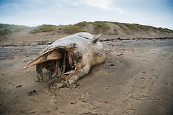 © London News Pictures. 26/12/2015 Ynyslas Beach, near Aberystwyth Wales UK, Boxing Day 26 December 2015<br /> A dead whale, identified as a minke whale, was washed up on Christmas Day by the stormy weather on the beach at Ynyslas just north of Aberystwyth on the west Wales coast .The severe weather is set to continue with several 'red' warnings in place in north Wales and England, warning of the risk to life and property from the intense heavy rain and flooding. Keith Morris/LNP.