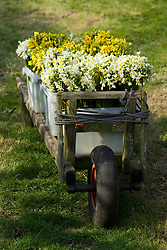 Cut scented narcissi on wooden trolley on St. Agnes, Isles of Scilly