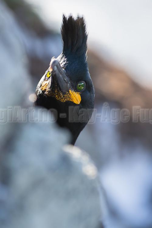 European Shag hiding behind a rock, and sneaks his head over the edge to have a look at the photographer | Toppskarv som gjemmer seg bak en stein, og titter forsiktig opp fra kanten for å se på fotografen.