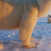 Polar bear (Ursus maritimus) family group. Hudson Bay, Churchill, Manitoba, Canada