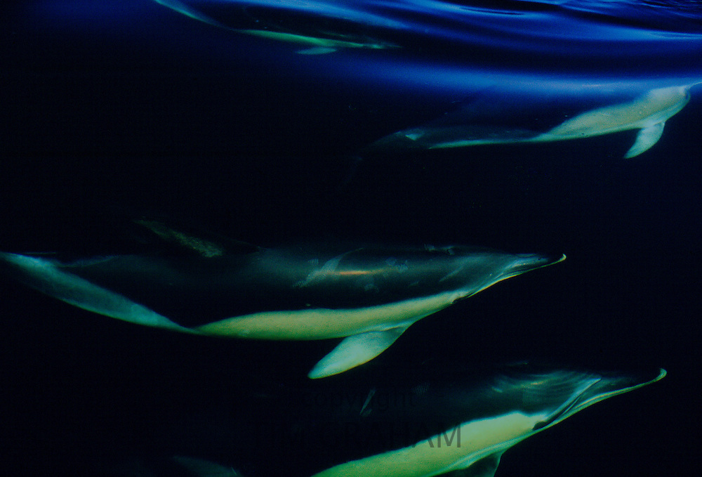 School of dolphins swimming under the sea in the Mediterranean Sea  off the coast of southern Spain RESERVED USE - NOT FOR DOWNLOAD -  FOR USE CONTACT TIM GRAHAM