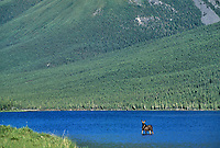 Young Moose Alces alces in Blue Lake Muskwa Kechika British Columbia Canada