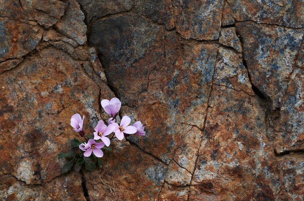 The endemic Rock Cress (Arabis purpurea), Paphos forest, Troodos mountains, Cyprus