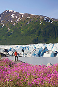A hiker enjoys the wildflowers along the lake in front of Spencer Glacier, Chugach National Forest, Alaska.