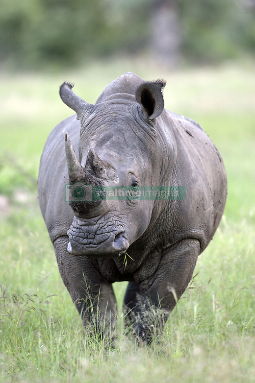 July 6, 2015 - Wide-mouthed Rhinoceros, White Rhino, Sabie Sand Game Reserve, South Africa  (Credit Image: © Tuns/DPA/ZUMA Wire)