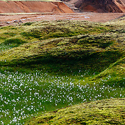 Cotton grass blooms in the lower lava drainages in the rhyolite hills of Landmannalaugar National Park in Iceland.