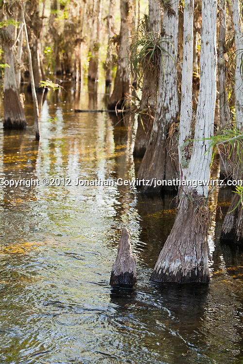 Flooded ground and cypress trees in a cypress hammock near Pa-hay-okee Overlook in Everglades National Park, Florida. WATERMARKS WILL NOT APPEAR ON PRINTS OR LICENSED IMAGES.