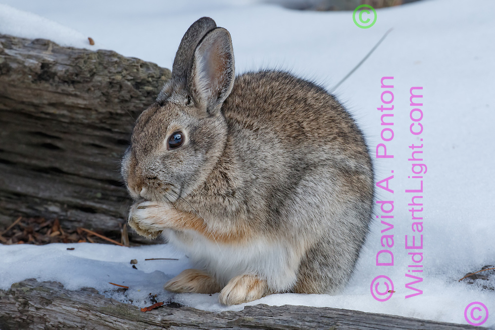 Mountain cottontail rests on a hollow log and seems to be licking its paws, winter, Jemez Mountains, NM, © David A. Ponton