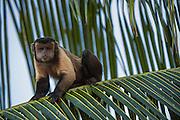 Brown (Tufted) Capuchin (Sapajus apella)<br /> GUYANA<br /> South America