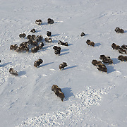 Muskox (Ovibus moschatus) a group in the oil field area of Prudhoe Bay. Ak.