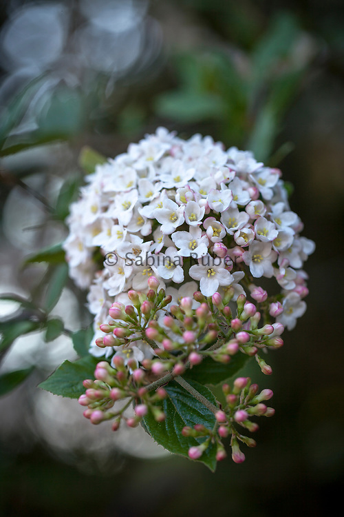 Viburnum x burkwoodii 'Park Farm Hybrid' - arrowwood