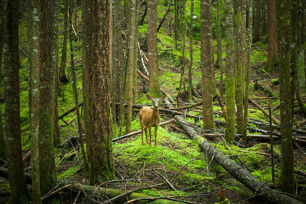 A black-tailed deer (Odocoileus hemionus columbianus) stands alone in a second growth forest along Cascade River Road, Mount Baker-Snoqualmie National Forest, Washington.